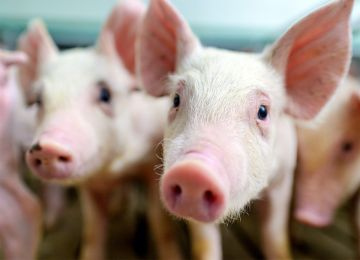 African Swine Fever Testing Solutions from RINGBIO