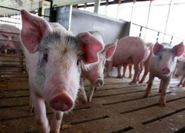 Ringbio Swine Disease Test Kits